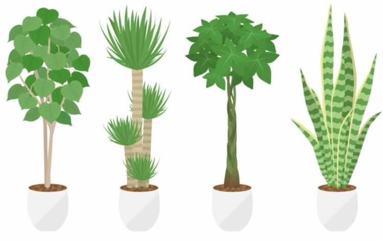 部屋に置きたいおしゃれな観葉植物は、ウンベラータがおすすめ