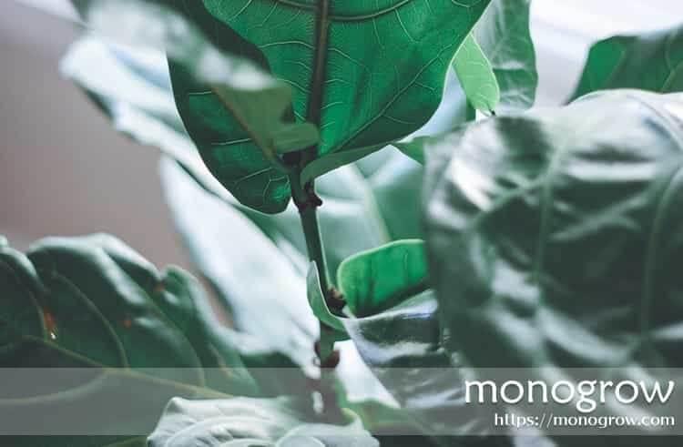 おしゃれで人気が高い観葉植物3選|おすすめは育てやすいウンベラータ!