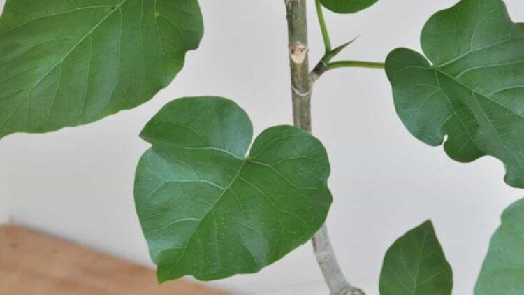 ハート型の葉っぱがかわいいウンベラータ